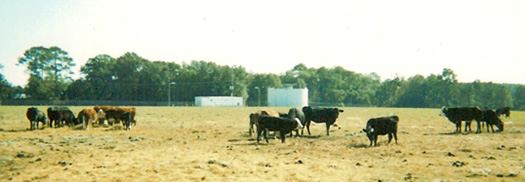 Black Angus and Polled Hereford cattle on Perry farm